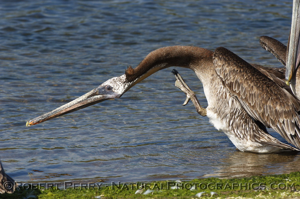 Sometimes you just gotta stick your neck out to get things done.  Brown Pelican, Zuma Lagoon, scratching a neck itch.