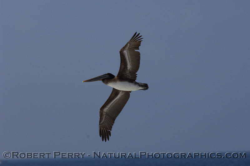 Lone Brown Pelican soaring above the waves.