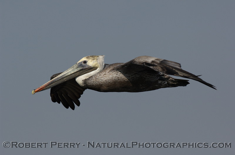 Eye-to-eye with a soaring Brown Pelican.