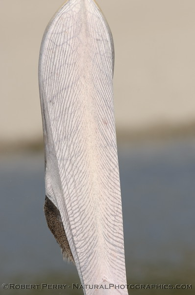 The underside of a Brown Pelican's pouch in the midst of Stage Two of its pouch stretching manoeuvre at Zuma Lagoon.