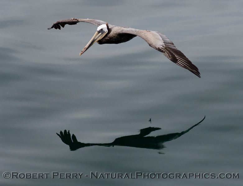 Soaring Brown Pelican reflected on the mirror glass ocean surface.