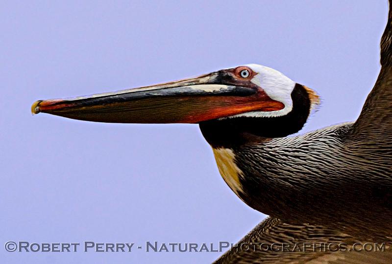 QQQ-Pelicanus occidentalis in flight looking up GOOD 2006 05-04 Zuma--386cropMODheadshot