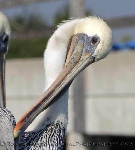 Nice portrait of a white headed adult Brown Pelican.