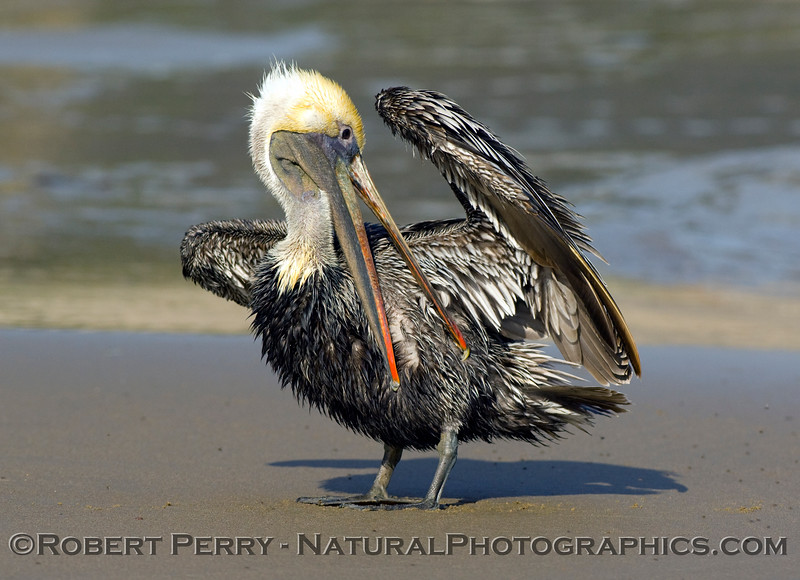 Brown pelican grooms its feathers sitting while on the sand (Pelecanus occidentalis); Zuma Beach.