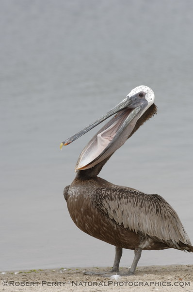 Mouth agape, a Brown Pelican begins its pouch-stretching manoeuvre.