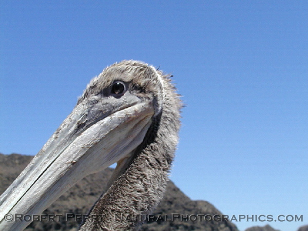 Eye to eye with the Brown Pelican that landed on the Dive Boat Peace, Anacapa Island.