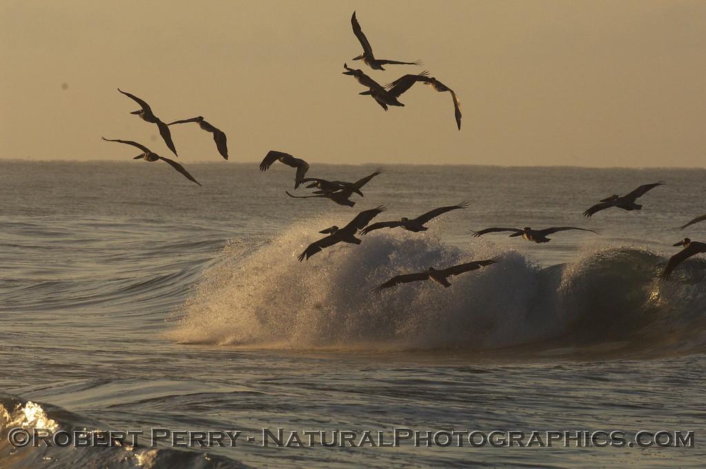Flock of Brown Pelicans at Dawn....Zuma Beach.