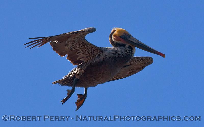 Pelecanus occidentalis in flight 2010 03-07 Pt Vicente - 248