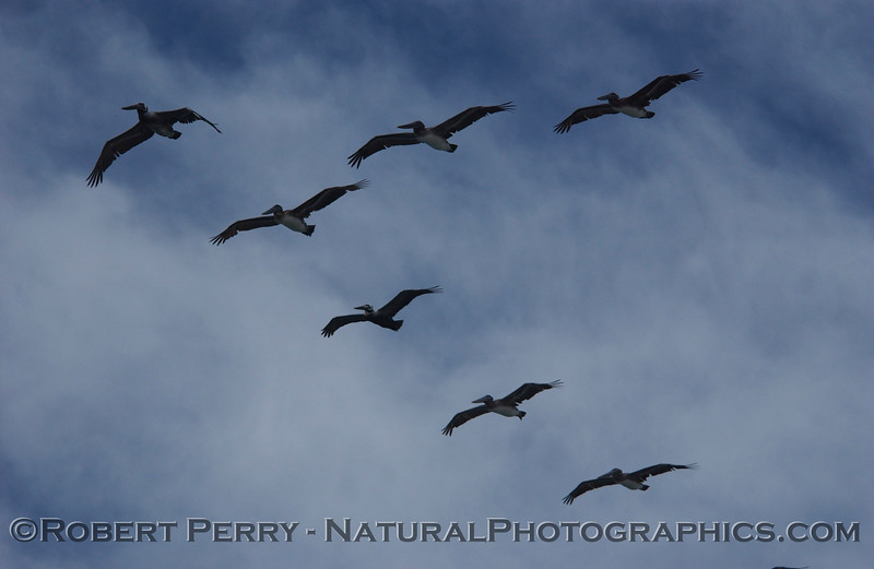 Seven Brown Pelicans in a classic V-formation.