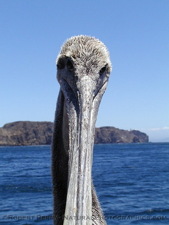 Head shot of a Brown Pelican that landed on the Dive Boat Peace.  West Anacapa Island is in the background.