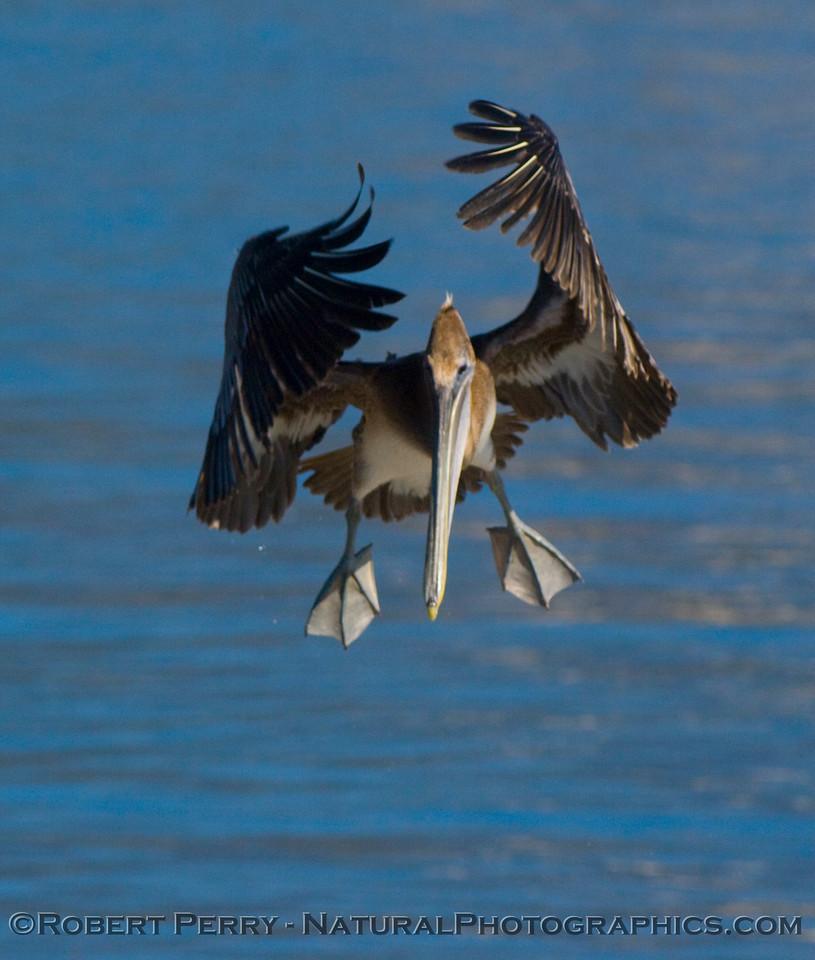 Brown Pelican (<em>Pelecanus occidentalis</em>) coming in for a landing on the Santa Barbara Harbor bait barge.  Image 2 of 2.