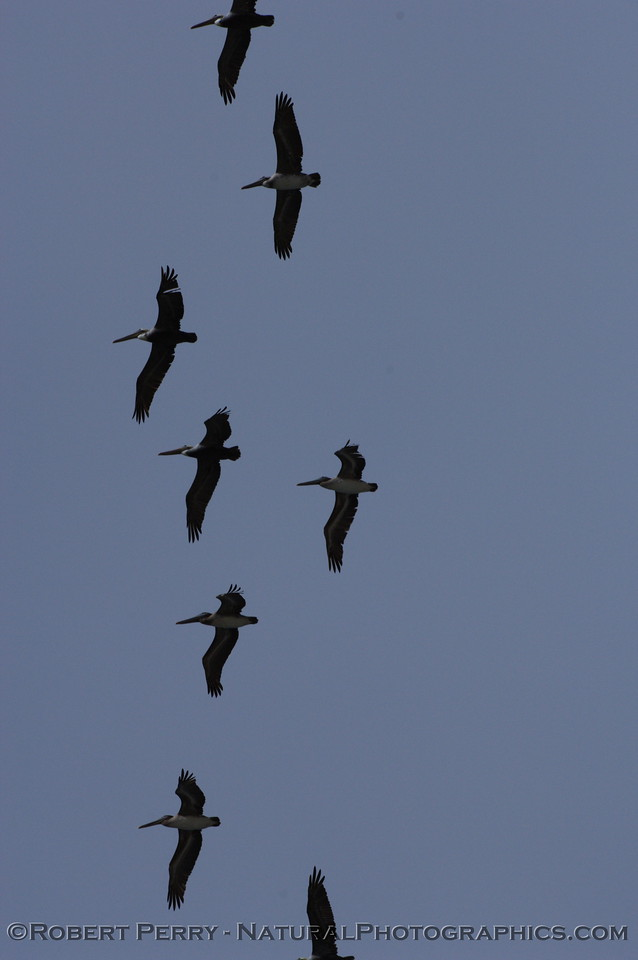 Silhouettes of Brown Pelicans soaring over  head.