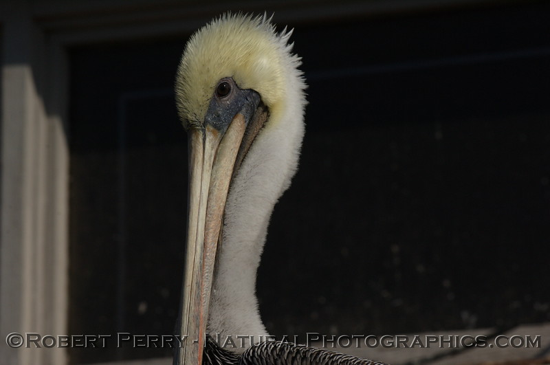 Portrait of a Brown Pelican, left side.