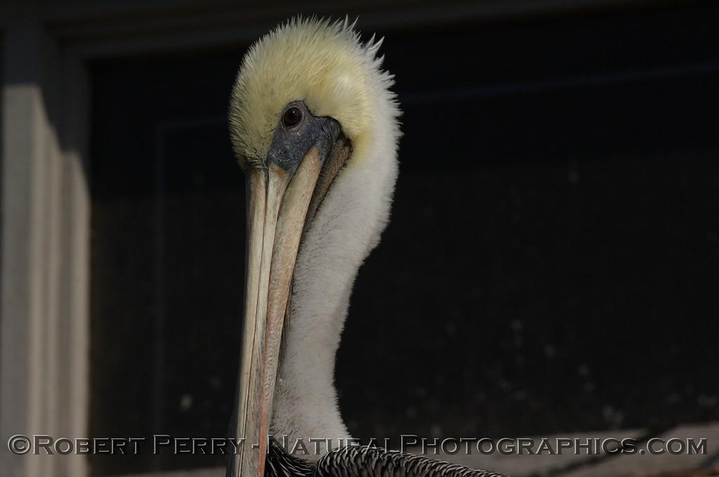 Portrait of a Brown Pelican, left side.