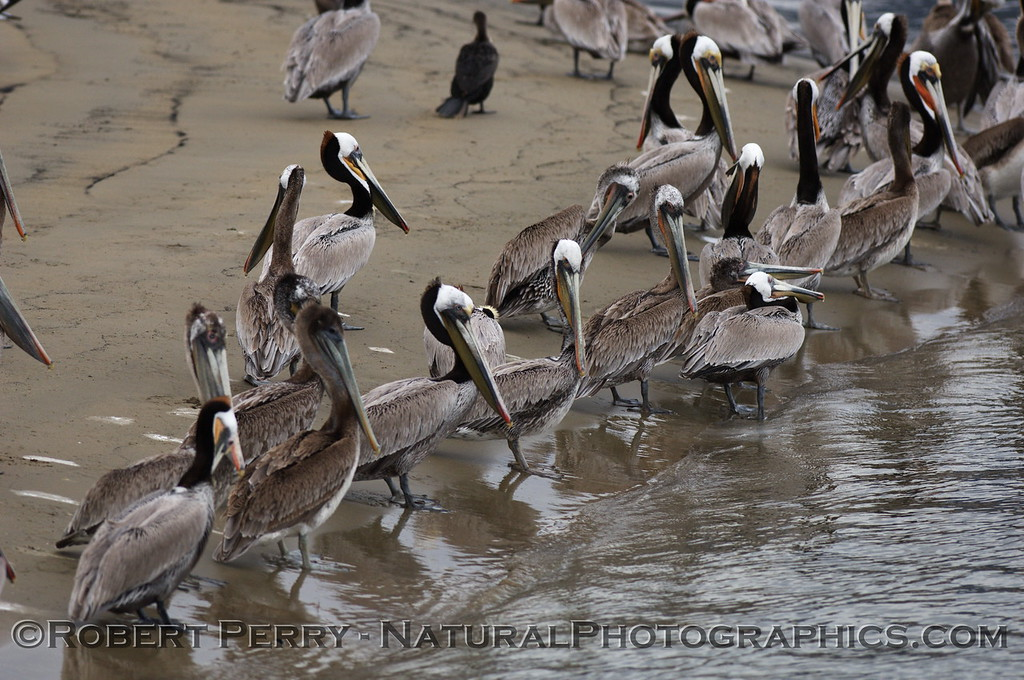 Flock of Brown Pelicans roosting along the water's edge; the Sandspit, Santa Barbara Harbor.