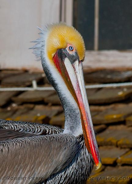 A blue-eyed adult brown pelican (<em>Pelecanus occidentalis</em>) soaks up the sunshine on the roof of the SEA Landing in Santa Barbara Harbor.