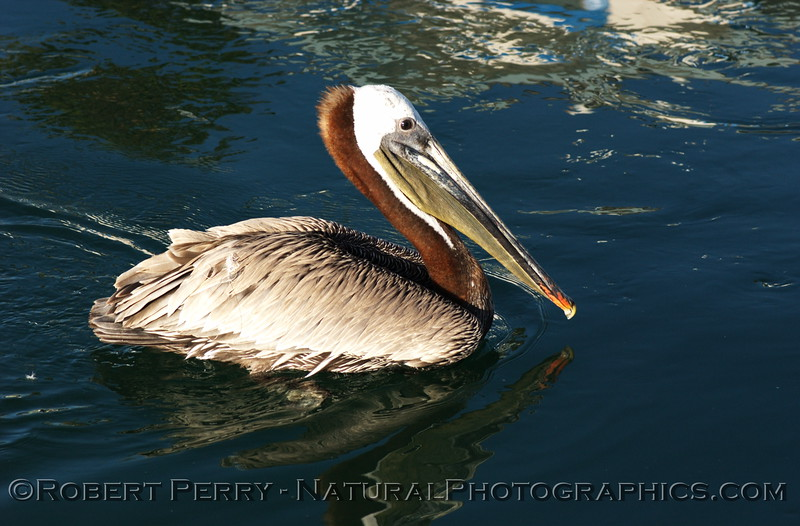 Brown Pelican swmming.  Channel Islands Harbor.