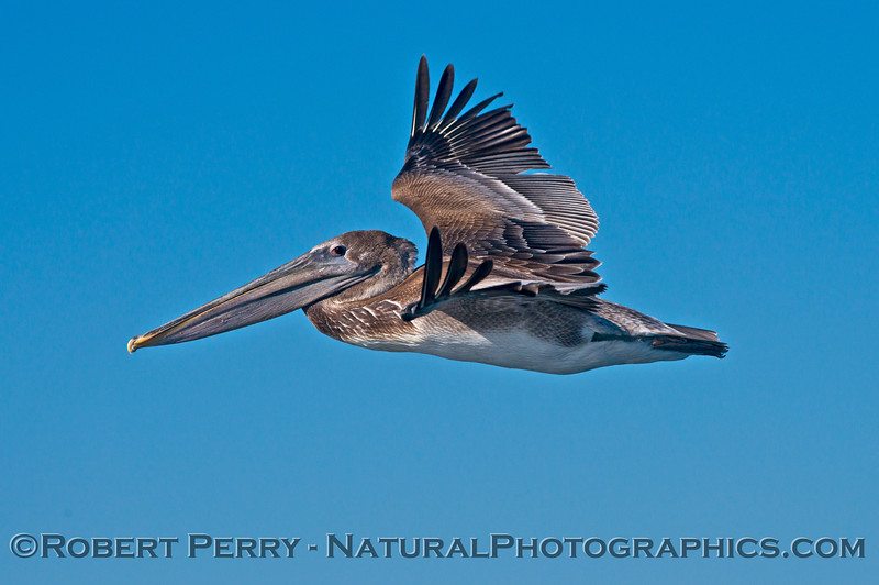 This is the full frame shot of the brown pelican (<em>Pelecanus occidentalis</em>) close up photo that is in the #1 spot in this gallery.
