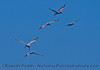 Pelecanus occidentalis flying & crash diving 2015 05-18 SB Channel-063
