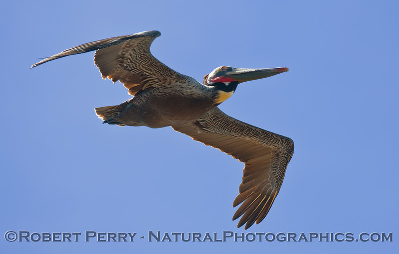Pelecanus occidentalis in flight 2010 03-07 Pt Vicente b - 015