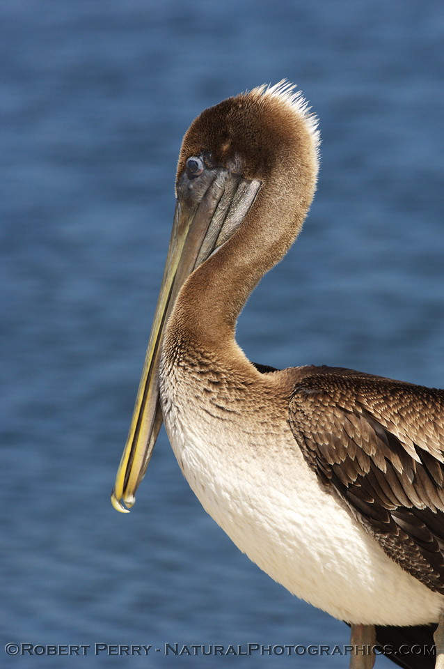 Close view of the left lateral, Brown Pelican at Zuma Lagoon; mohawk catching the sun.