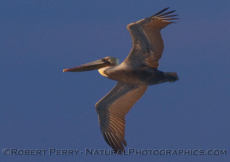 Pelecanus occidentalis soaring at dawn 2009 12-17 Zuma b - 082CLOSE