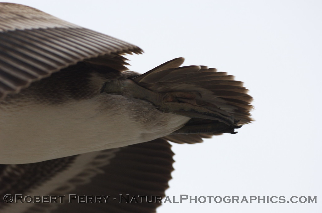 Shake your tail feathers, baby!   Brown Pelican in flight.