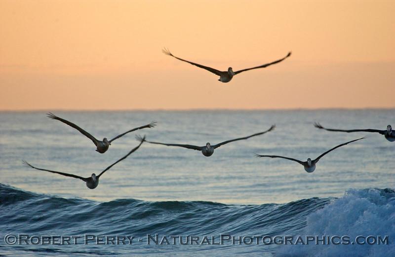 Pelican soaring at dawn.