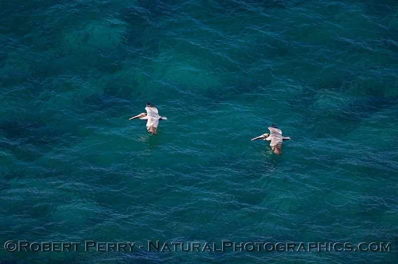 Two Brown Pelicans skimming across the clear blue waters.  Photo taken from the Gray Whale Census area at Point Vicente.