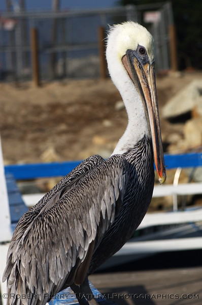 Right lateral aspect of an adult Brown Pelican inside Channel Islands Harbor.