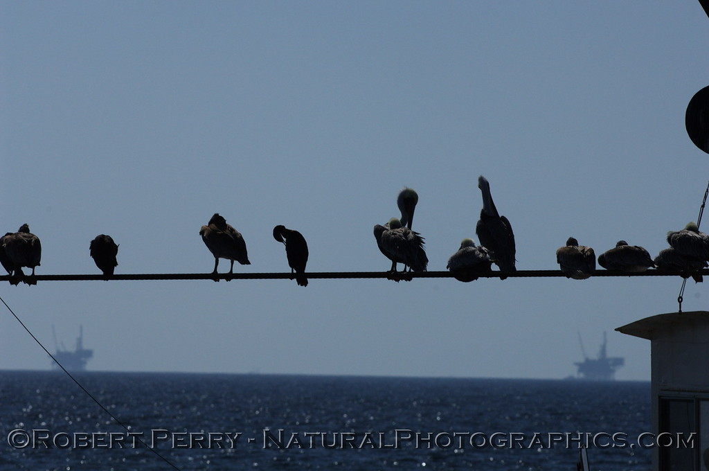 Brown Pelicans rest on a support cable on the dredge barge in Santa Barbara Harbor, looking out at the oil platforms in the Channel.