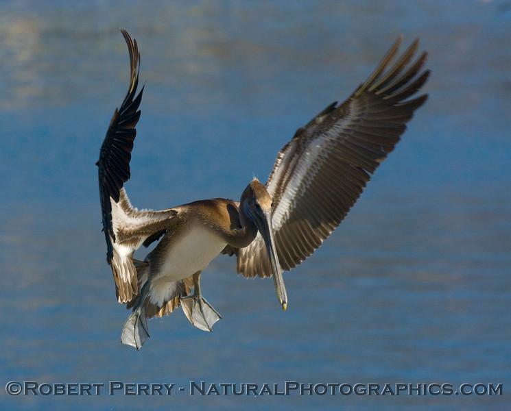 Brown Pelican (<em>Pelecanus occidentalis</em>) coming in for a landing on the Santa Barbara Harbor bait barge.  Image 1 of 2.