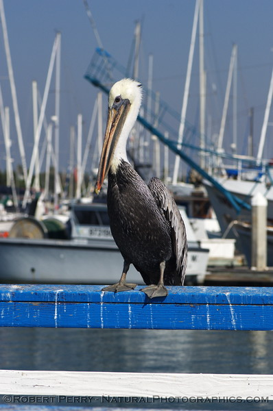 Adult Brown Pelican standing guard over the bait tanks inside Channel Islands Harbor.