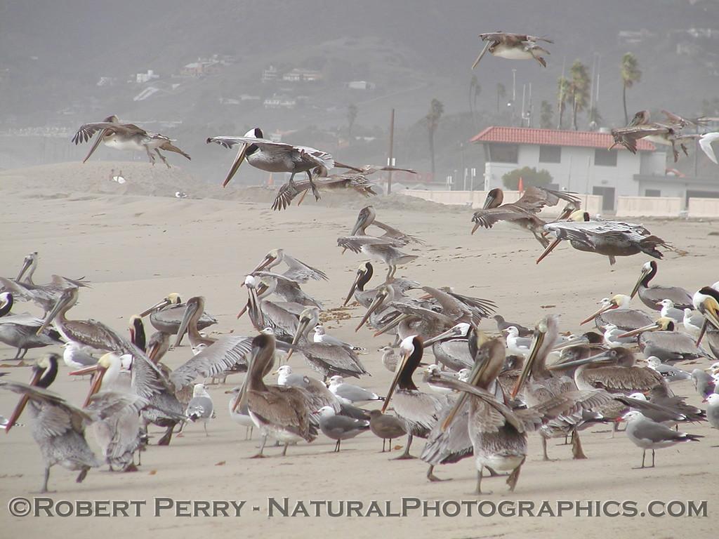 Pelicans on the sand.  Zuma Beach.