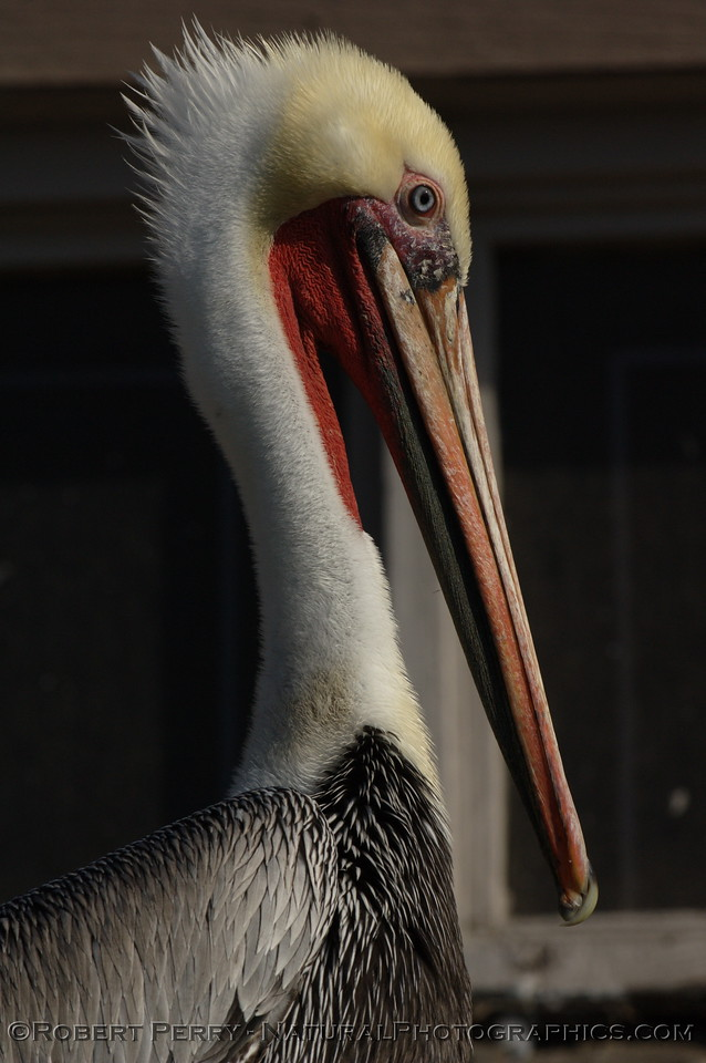 Portrait of a Brown Pelican, right side.