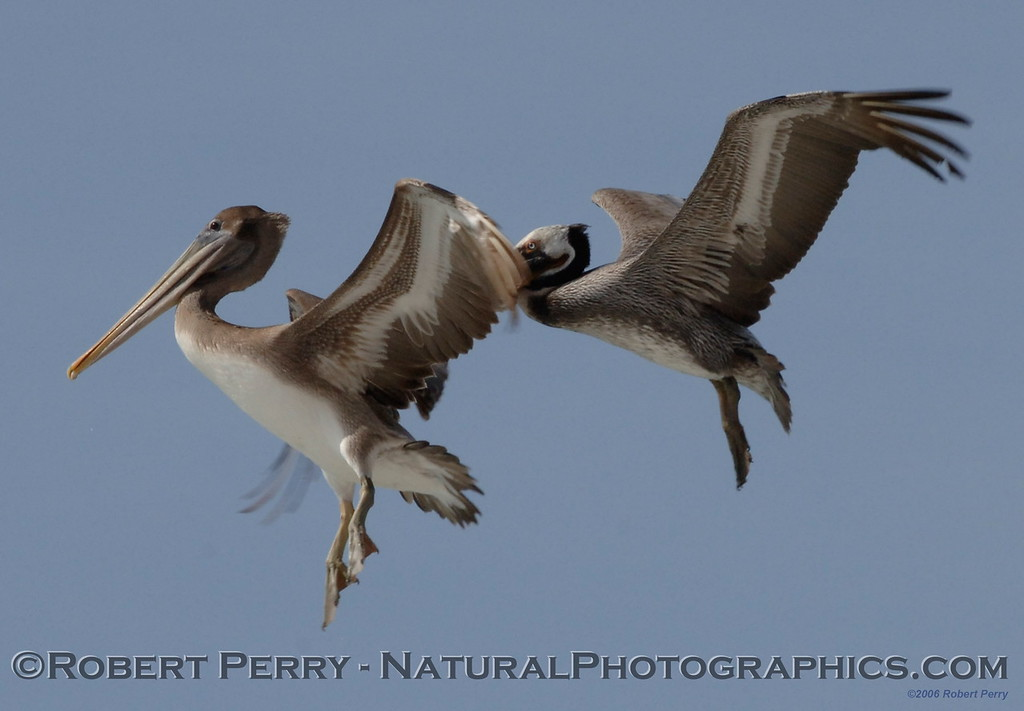 Two Brown Pelicans:  landing sequence image #2.