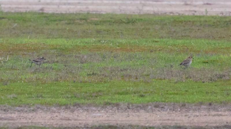 Pacific Golden-Plovers