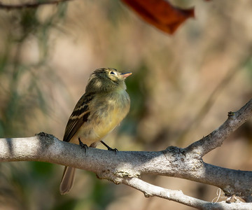 Pacific slope Flycatcher