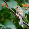 Pacific-Slope Flycatcher