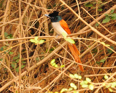 Paddyfield birds