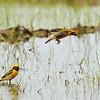 Weaver Birds,Male