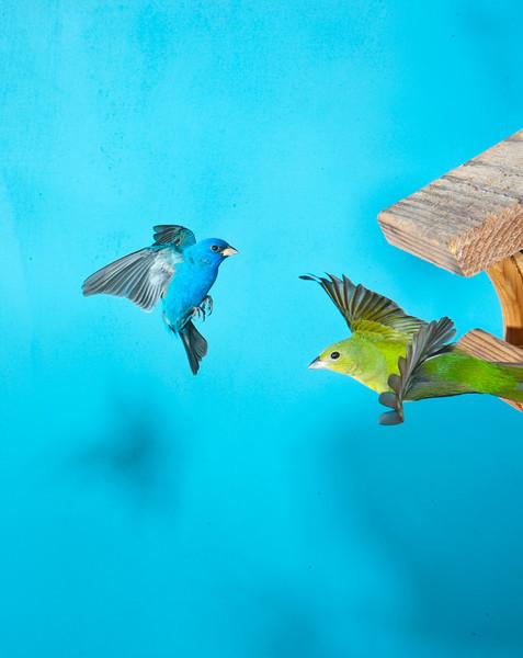 North America, USA, Florida, Immokalee, Painted Bunting Female and Indigo Bunting Flying