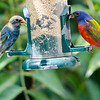 North America, USA, Florida, Immokalee, Painted Bunting Male and Moulting Male Indigo Buntingon atFeeder