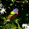 North America, USA, Florida, Immokalee, Painted Bunting, Male