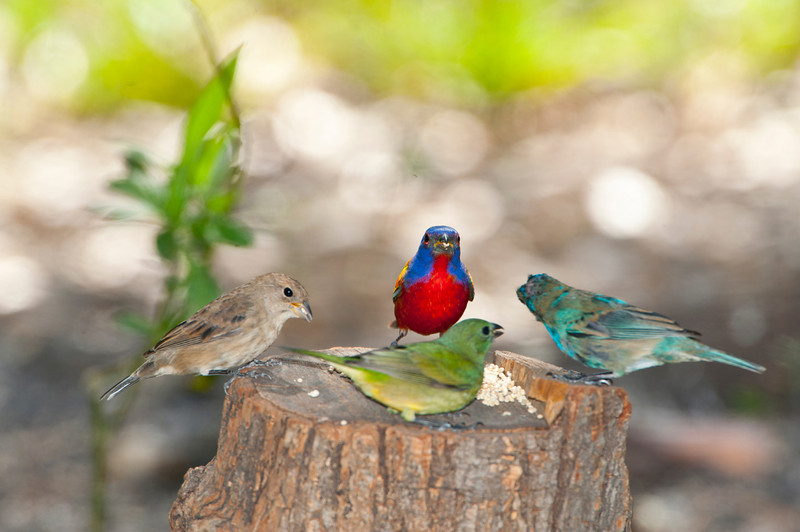 North America, USA, Florida, Immokalee, Painted Bunting. male and females