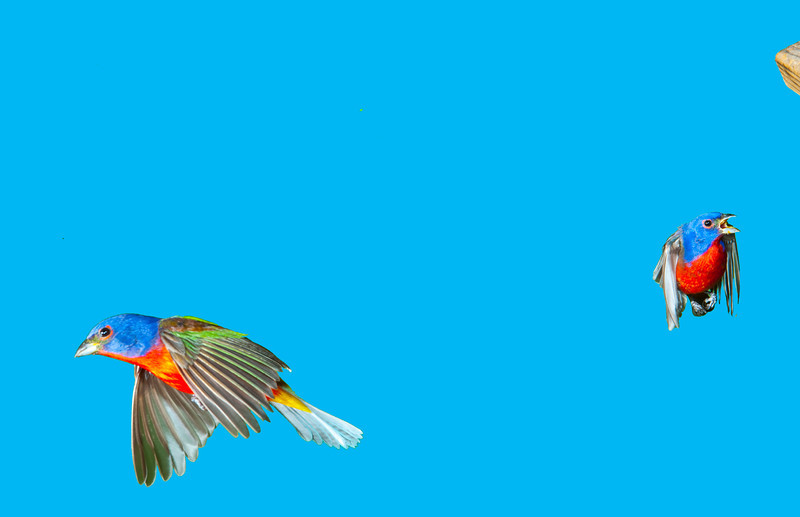 North America, USA, Florida, Immokalee, Painted Bunting, Males Flying and Fighting