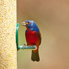 North America, USA, Florida, Immokalee, Painted Bunting, Male at Bird Feeder