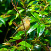 North America, USA, Florida, Immokalee, Painted Bunting, Juvenile Male