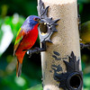 North America, USA, Florida, Immokalee, Painted Bunting. male and female on Bird Feeder