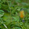 North America, USA, Florida, Immokalee, Painted Bunting  Juvenile Male